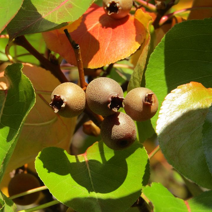 tree leaves and berrys - tammy  owens