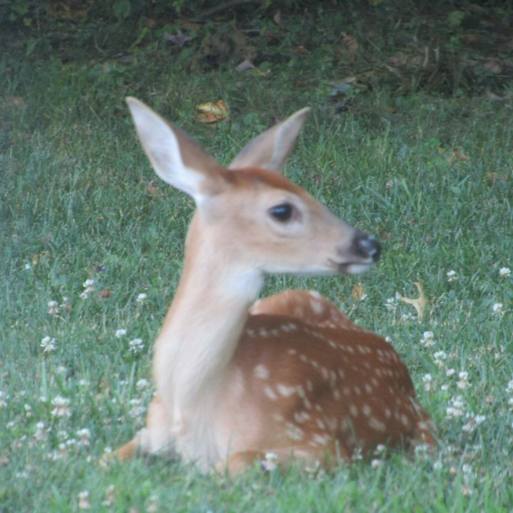 baby deer 1 - tammy  owens