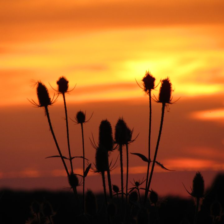 teasel in he sunset - tammy  owens