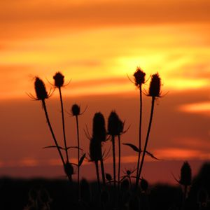 teasel in he sunset