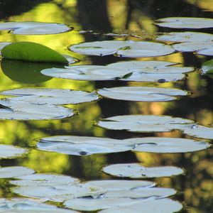 lilly reflections