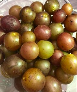Muscadine goldens for Bounty