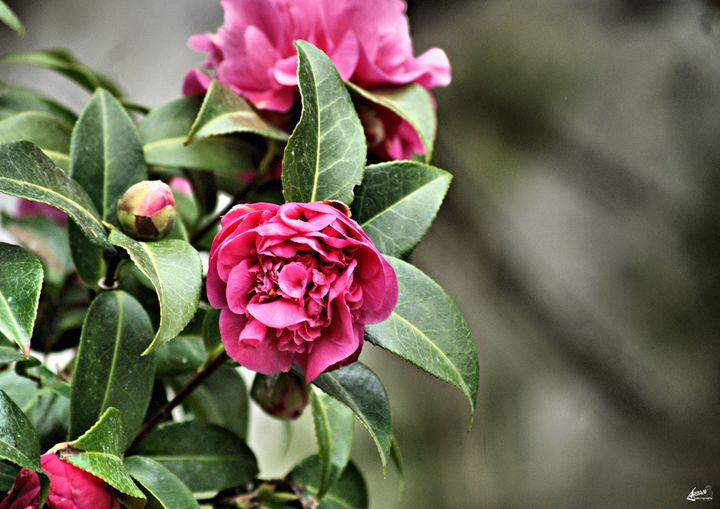 Dusky pink - Asrai Photography