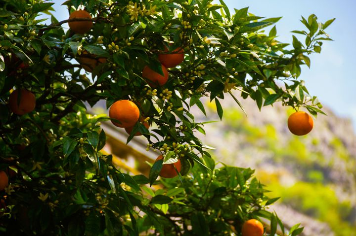 Close up of orange tree. - Darya Lavinskaya