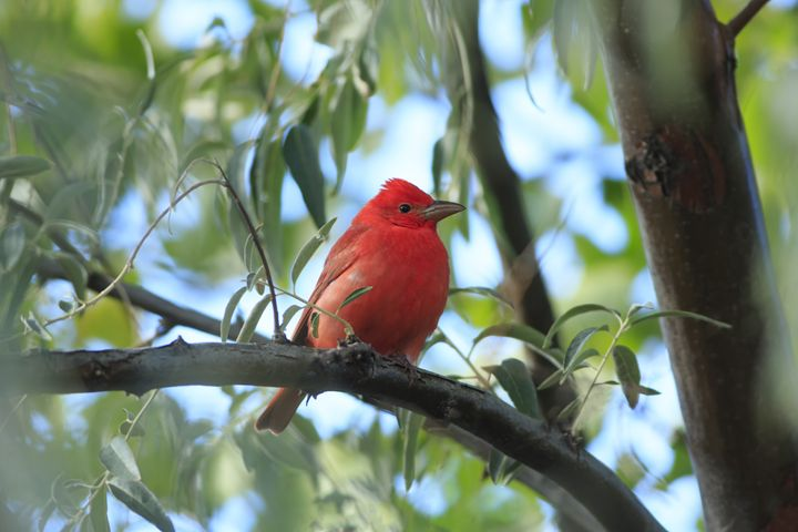 Summer Tanager - ZiAura Southwest Photography