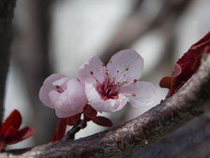 Thundercloud Plum Blossoms