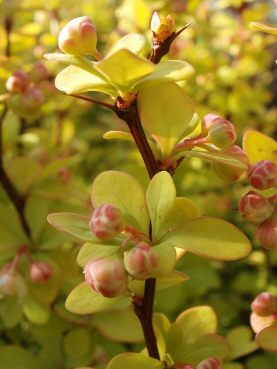 Barberry 'Gold Beret' - Heather Coste