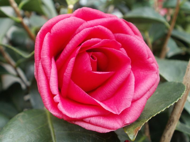 Camellia 'Arctic Rose' - Heather Coste