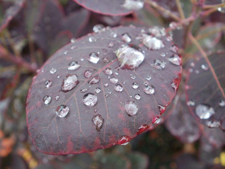 Smokebush in the Rain - Heather Coste