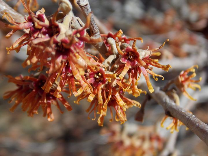 Winter Flowering Witchhazel - Heather Coste