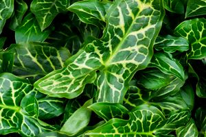 Big Green Ivy Looking Plant