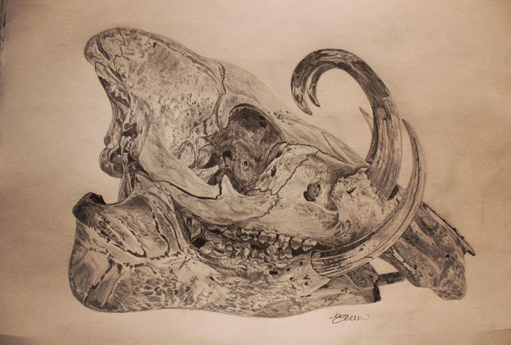 Babirusa skull - Maya Farlow