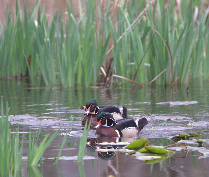 Male Wood Ducks - Mndphoto