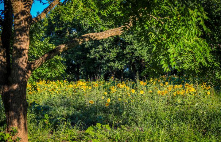 Summer Sunflower Oasis - Mndphoto