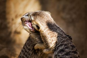 Meerkat Sibling Rivalry