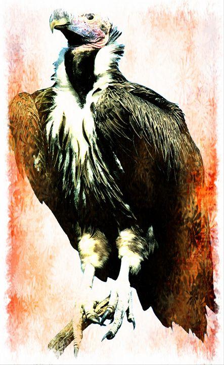 Lappet faced Vulture - Animart