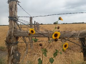 Wild Summer Sunflowers