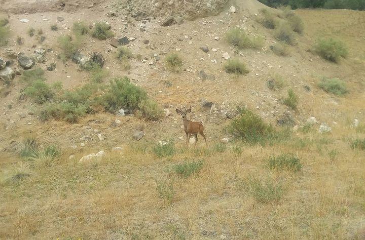 Colorado Mule Deer - Eye of the Beholder