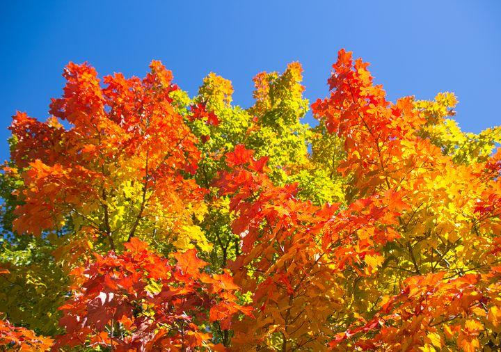 Autumn Maple Trees - Zita Ruth Photography