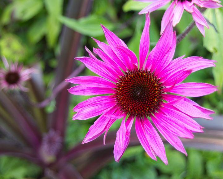 Purple Coneflower - Zita Ruth Photography