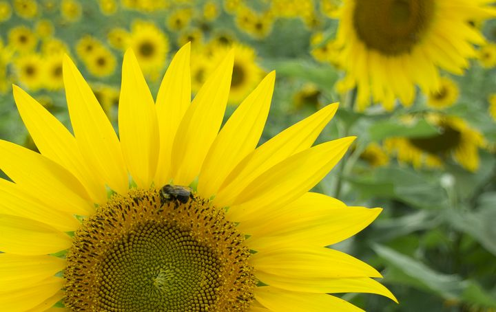 Sunflower with Bee - Zita Ruth Photography