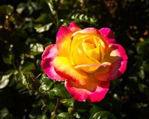 Yellow Fuchsia Rose