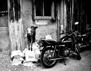 Goatercycle Black & White