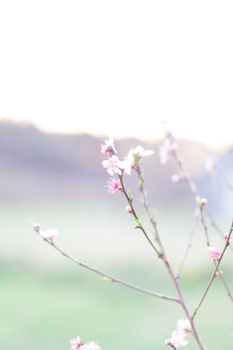 Blooming Peach Tree - Timeless Florals