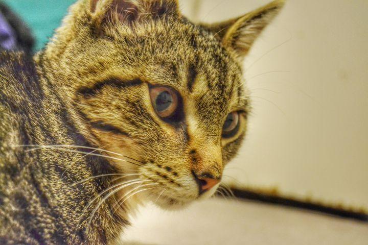 Tabby Cat - Pheobe's Photography