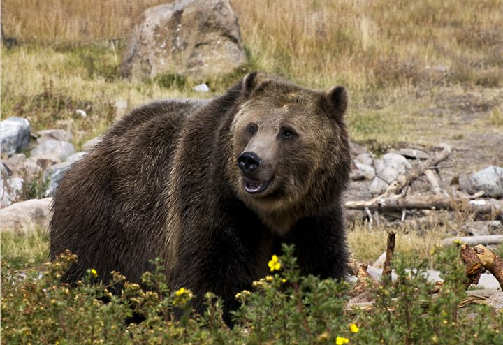 Grizzly - Photography By Gordon Ripley
