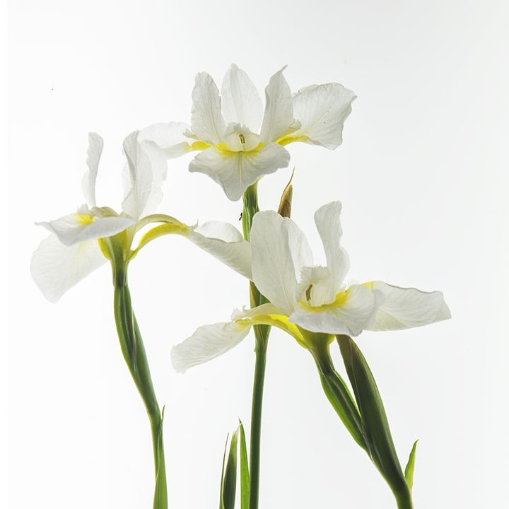 White Irises - Photography By Gordon Ripley