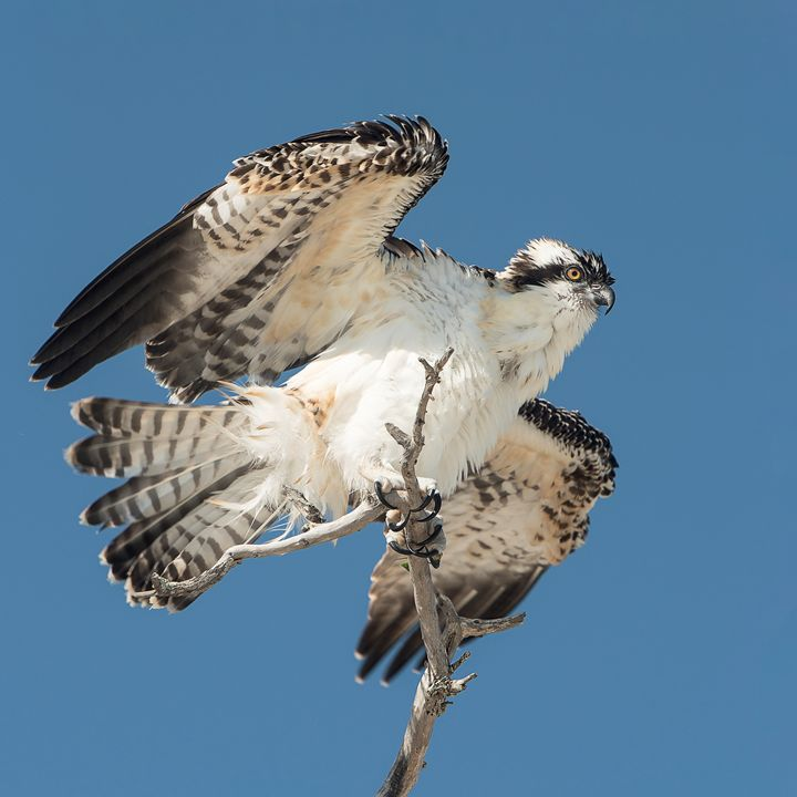Fledgling Osprey - Photography By Gordon Ripley