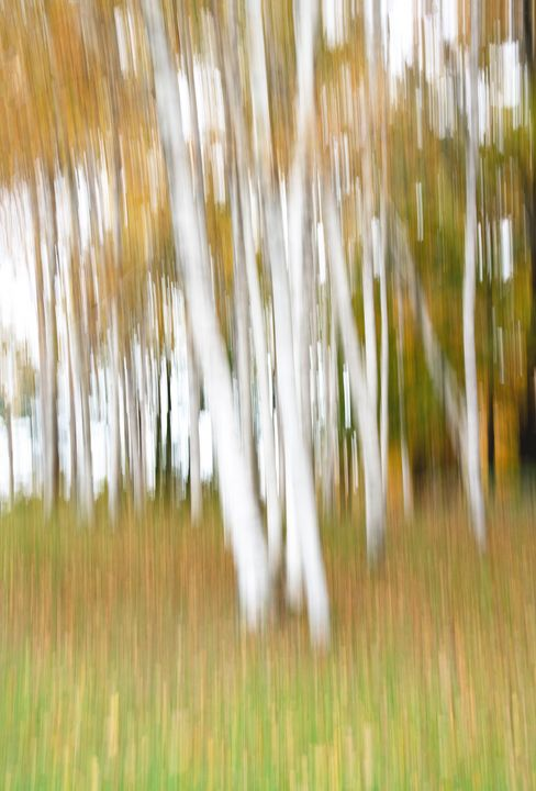 Vermont Fall Birches - Photography By Gordon Ripley