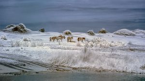 Wild Horses of Corrola