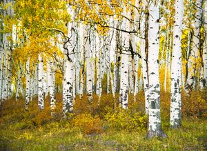 Last Dollar Road Aspens