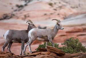 Bighorn Sheep at Zion