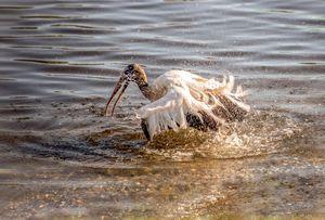 Stork Taking a Bath