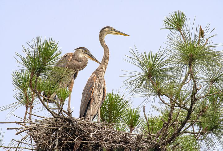 Great Blue Herons on the Nest - Photography By Gordon Ripley