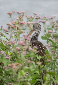 Limpkin in the Flowers