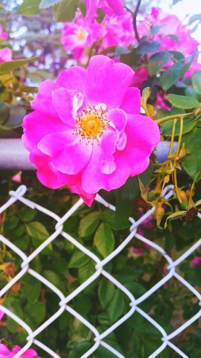 Summer flower - Priscilla Burt