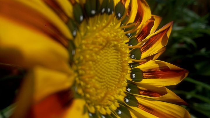 daisy flower -  24x7friendsandco