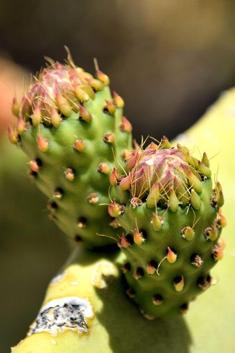 Prickly Pear Buds - Desert Life Studio