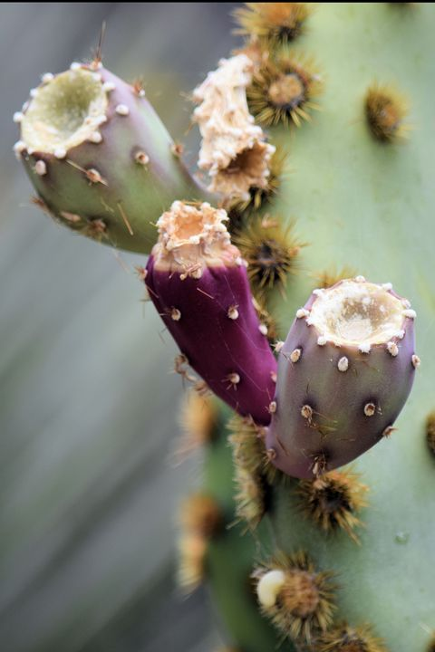 Triple Prickly Pear Fruit - Desert Life Studio