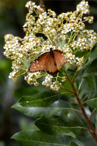 Queen Butterfly With White Flowers