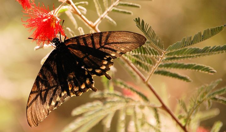 Transparent Butterfly - Desert Life Studio