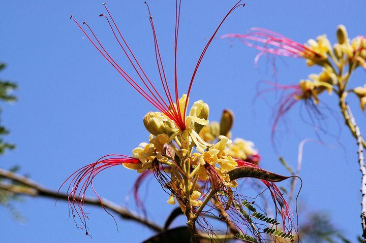 Yellow Bird Of Paradise Tree Desert Life Studio Photography
