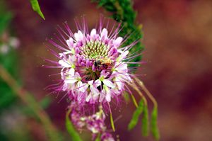 Purple Friend of the Bee