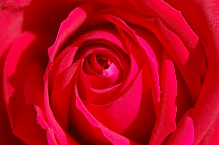 Folds of the Red Rose - Desert Life Studio