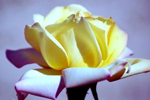 Vibrant Yellow and Pink Rose