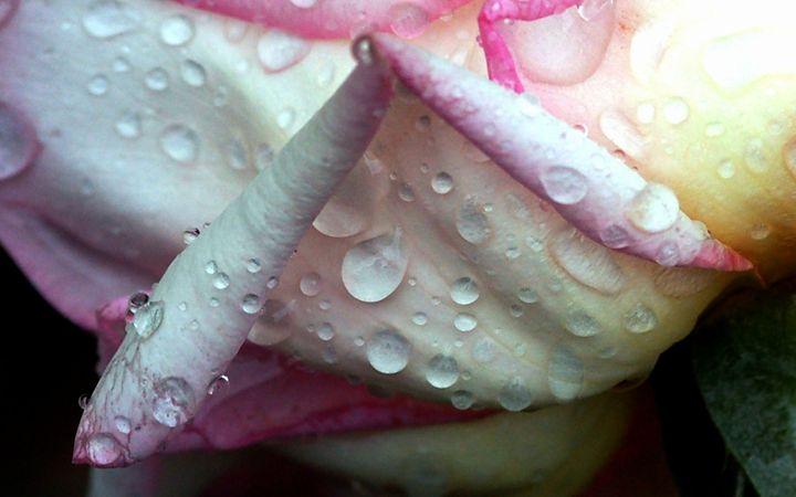 Soaked Rose Petals - Desert Life Studio